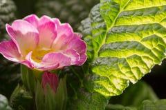 Riegue el descenso dentro de una flor de la prímula Primera Imágenes de archivo libres de regalías