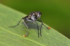 Riegue el descenso en boca por la mosca zanquilarga o Dolichopodidae, díptero Fotos de archivo libres de regalías