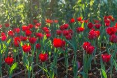 Riegue el descenso en el tulipán rojo en fondo del jardín Fotografía de archivo libre de regalías