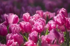 Riegue el descenso en tulipanes rosados florecen en fondo de la naturaleza fotografía de archivo