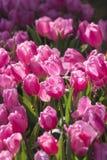 Riegue el descenso en tulipanes rosados florecen en fondo de la naturaleza imagen de archivo