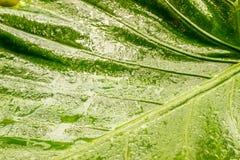 Riegue el rocío en los pétalos en las hojas verdes mojadas Fotos de archivo