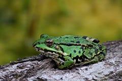 Riegue la rana que se sienta en una corteza de árbol y que mira en la cámara Fotos de archivo libres de regalías