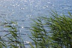 Riegue las hierbas Reed Grass común en la superficie del lago con pocas reflexiones de las ondas y del sol Fotografía de archivo libre de regalías