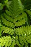 Riegue los descensos en las hojas de un helecho Foto de archivo libre de regalías