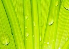 Riegue los descensos en las hojas verdes frescas Foto de archivo libre de regalías