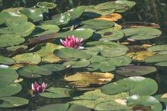 riegue los lillies en la charca - mirada retra del vintage Imágenes de archivo libres de regalías
