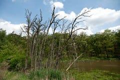 Riempito di acqua paludoso con gli alberi morti diritti Immagine Stock