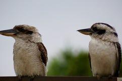 Riendo los pájaros de Kookaburra, broncee los pájaros del martín pescador foto de archivo