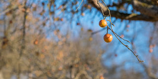 Riep apples at a branch of a tree in winter Stock Photography