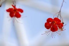 Riep de tropische rode bloeiende installatie van hibiscusgrandidieri, mooie bloemen in bloei, ook Rode Chinese Lantaarnhibiscus stock afbeeldingen