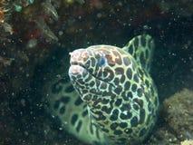 Riese beschmutzte den Moray, der sich an unter Korallenriff versteckt Lizenzfreie Stockfotografie