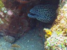 Riese beschmutzte den Moray, der sich an unter Korallenriff versteckt Stockfotografie
