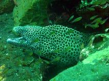 Riese beschmutzte den Moray, der sich an unter Korallenriff versteckt Stockfoto