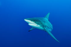 Riese Blacktip Stockbilder