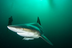 Riese Blacktip Stockfoto