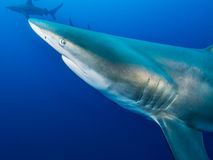 Riese Blacktip Stockfotos