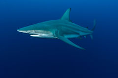 Riese Blacktip Stockbild