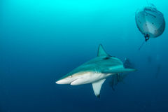 Riese Blacktip Lizenzfreie Stockfotos