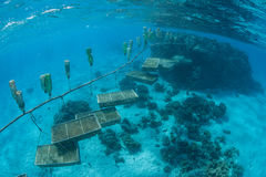 Riese Clam Farm auf das Polynesien Stockfoto