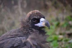Riese Eagle Lizenzfreies Stockfoto
