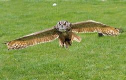Riese Eagle Owl im Flug mit den Flügeln heraus ausgedehnt Lizenzfreie Stockfotografie