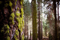 Riese Forest Sequoia National Park stockbild