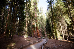 Riese Forest Sequoia National Park lizenzfreies stockbild