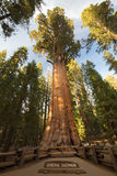 Riese Forest Sequoia National Park lizenzfreie stockbilder