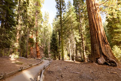 Riese Forest Sequoia National Park stockfotos