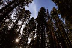 Riese Forest Sequoia National Park lizenzfreies stockfoto