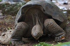 Riese-Galapagos-Schildkröte bei Charles Darwin Research Station lizenzfreie stockfotos
