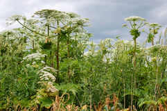 Riese hogweed Stockfotos