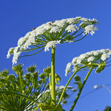 Riese Hogweed (Heracleum sphondylium) Lizenzfreie Stockfotografie