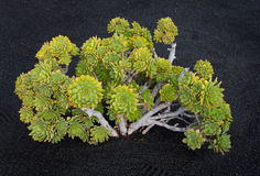 Riese Houseleek-Aeonium lancerottense Lanzarote Stockbild