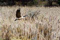 Riese-Kanada-Gans auf Flug auf dem Weizengebiet Lizenzfreie Stockfotografie