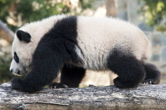 Riese Panda Cub Lizenzfreie Stockbilder