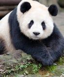 Riese Panda Posing mit nettem Blick Lizenzfreies Stockbild