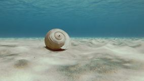 Riese Tun Shell On Sandy Seabed stock video footage