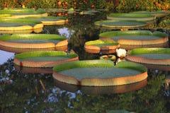 Riese-Victoria-Lotos im Wasser Stockfotos