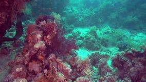 Riesemurray-Aal Gymnothorax-javanicus ist für Rotes Meer sehr allgemein stock video