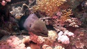 Riesemurray-Aal Gymnothorax-javanicus ist für Rotes Meer sehr allgemein Sie sind nicht wirklich gefährlich, aber i-` m nicht rate stock footage