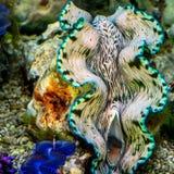 Riesenmuscheln im tropischen Korallenriff Lizenzfreies Stockfoto