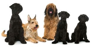 Group of breed dogs isolated on white royalty free stock photo