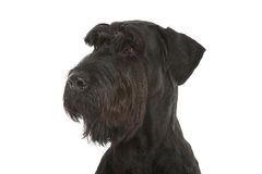 Riesenschnauzer Royalty Free Stock Images
