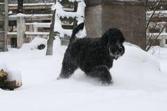 Riesenschnauzer, der während Schneefälle in der Ranch trottet lizenzfreie stockfotos