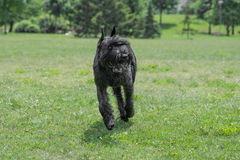 Riesenschnauzer dog running on the grass. Close up of Black Giant Schnauzer or Riesenschnauzer dog outdoor Royalty Free Stock Photos