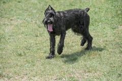 Riesenschnauzer dog running on the grass. Close up of black Giant Schnauzer or Riesenschnauzer dog outdoor Royalty Free Stock Images