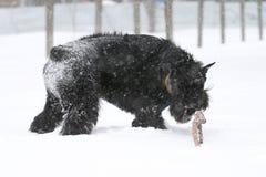 Riesenschnauzer nagt ein Stock im Schnee ab lizenzfreie stockfotografie