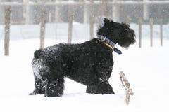 Riesenschnauzer steht im Schnee während Schneefälle ich stockbilder